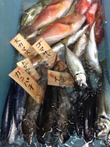 新鮮なとれたて地魚の小売り始めました3